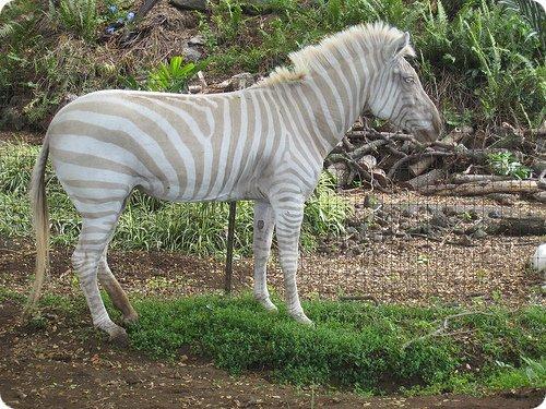 albinos-19