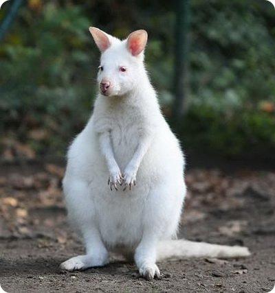 albinos-2
