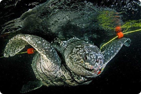 Жизнь гигантской черепахи в картинках