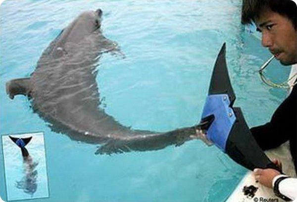 Дельфин с плавником-протезом