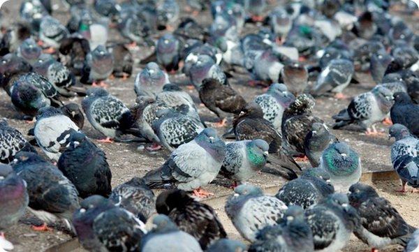 Как видят голуби