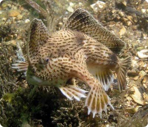 handfish-1