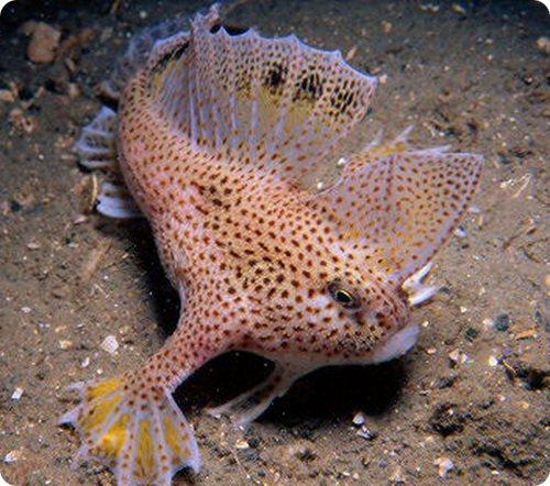 handfish-2