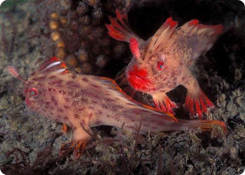 handfish-3