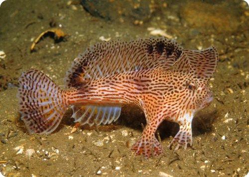 Handfish: рыба, которая ходит