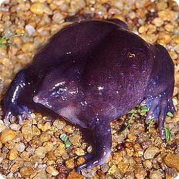 Фиолетовая жаба