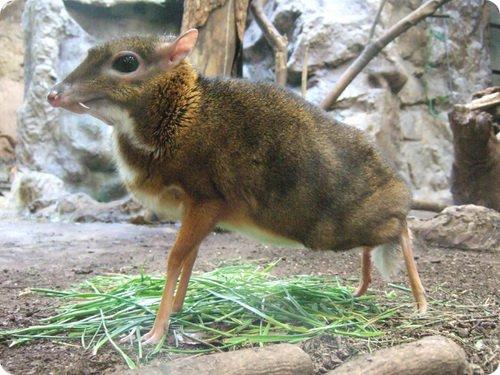 Канчиль: олень-мышь