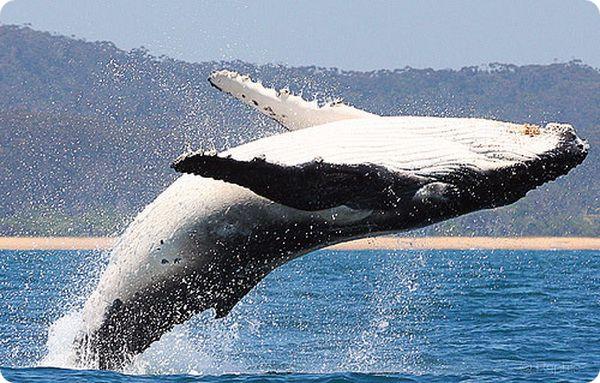 Самое громкое и самое большое животное на планете