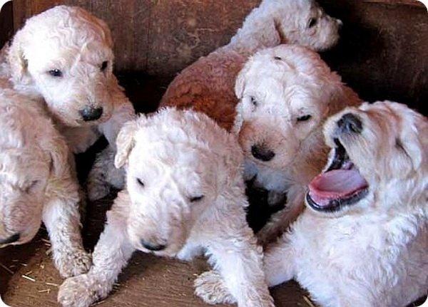 Комондоры: венгерские овчарки