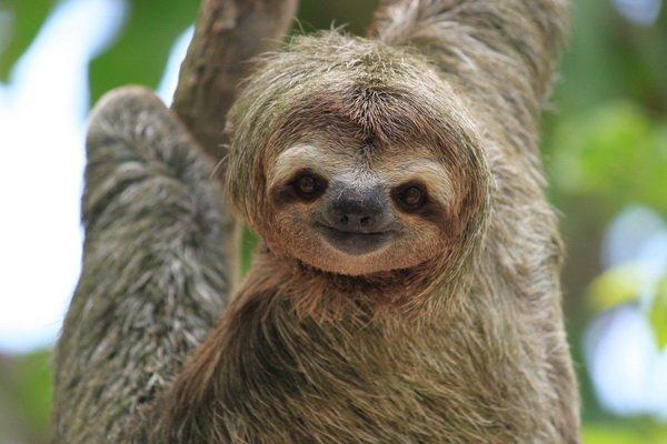 Некоторые факты о ленивцах