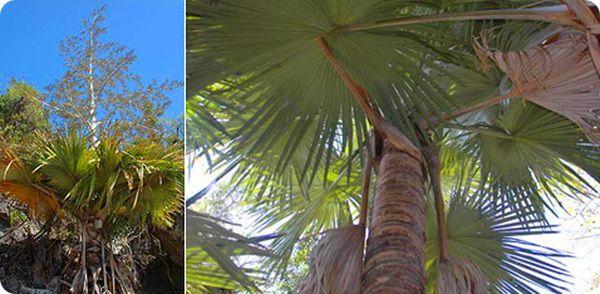 Самоуничтожающаяся пальма на Мадагаскаре