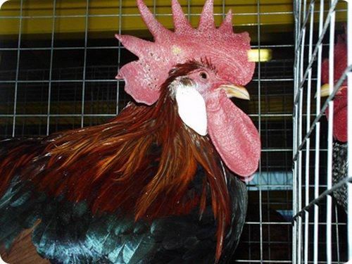 Боязнь куриц – самая странная фобия