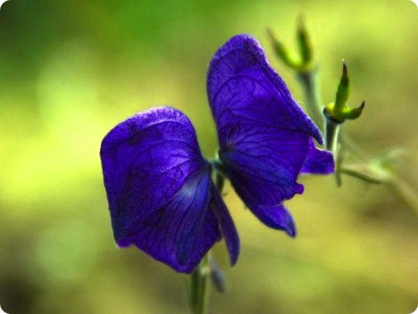 samye-neveroyatnye-v-mire-cvety-4
