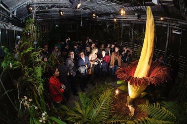 Самый большой цветок в мире расцвел