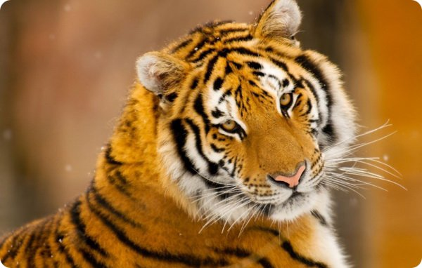 10 интересных фактов про тигров
