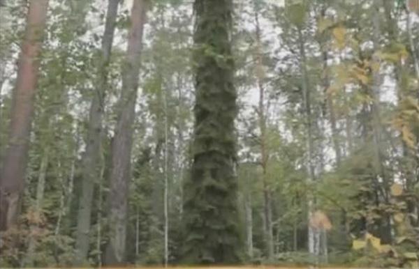 В Сибири обнаружена ель-мутант