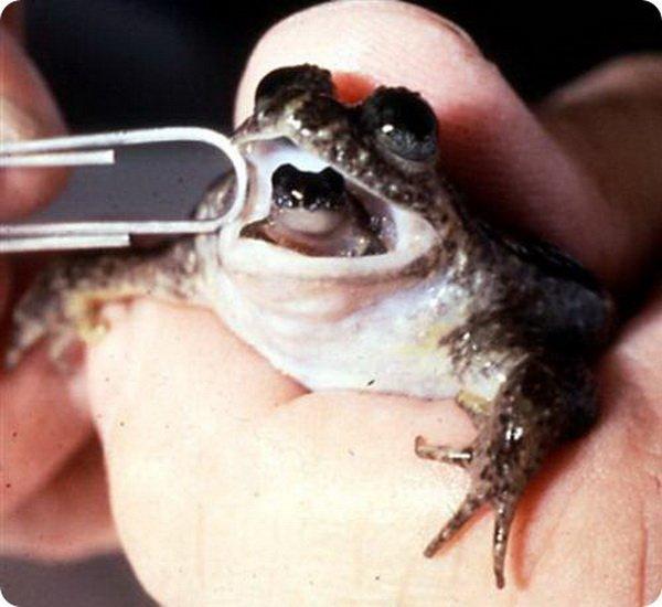 Заботливая лягушка