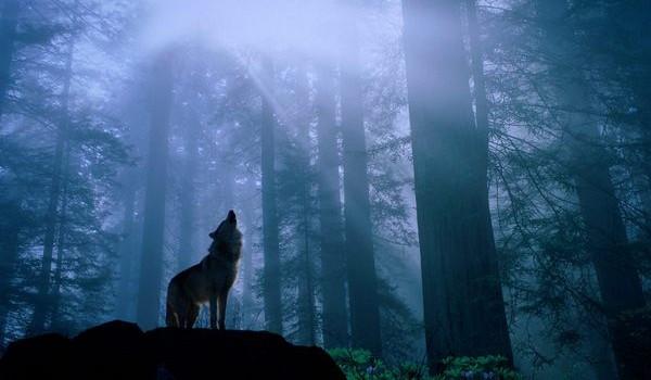 Почему волки воют на луну