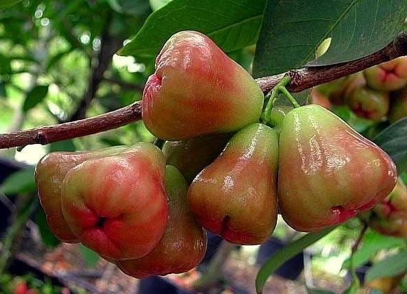 Розовые яблоки из Таиланда