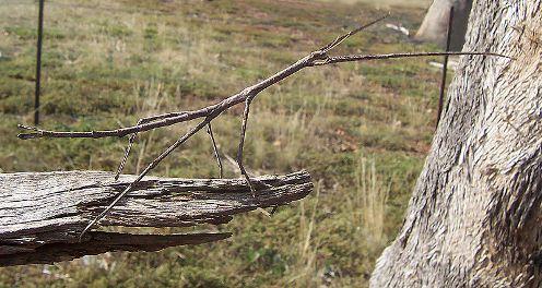 Мегапалочник Чаня: самое длинное насекомое в мире