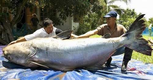 Самая большая рыба, которую поймали на удочку, весила 1 т 208 кг