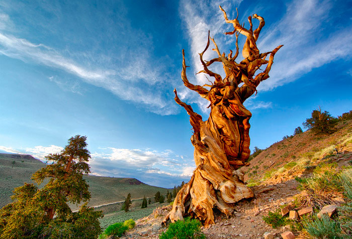 Мафусаил: дерево, которому 4846 лет