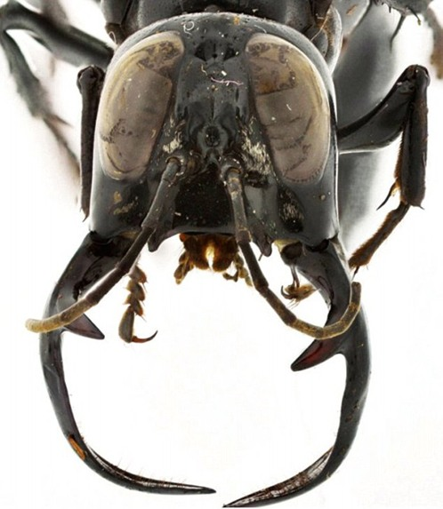 megalara-garuda-gigantskaya-osa-xishhnik-iz-indonezii-2