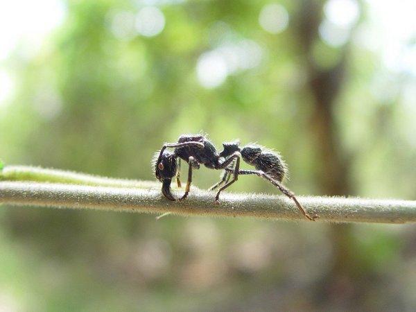 Самый болезненный укус в мире может нанести муравей-пуля