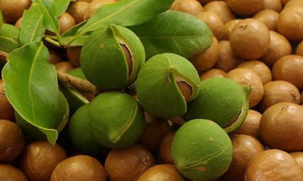 Макадамия: самые дорогие орехи в мире
