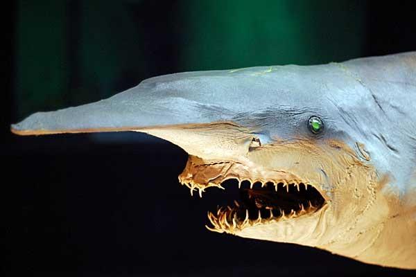 Акула-гоблин: фото