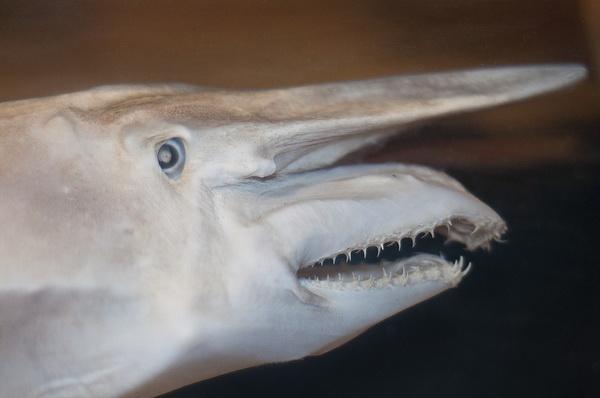 фотки акулы гоблина