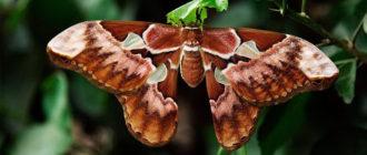 самая большая бабочка в мире фото