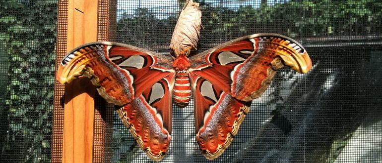Бабочка выходит из кокона