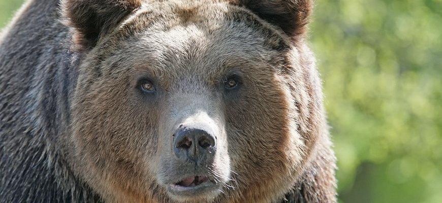 интересные факты о медведях для детей