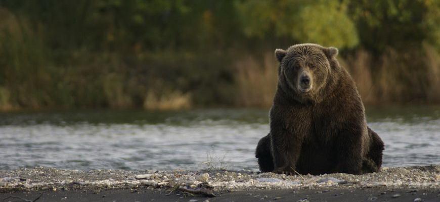 интересные факты о медведях бурых