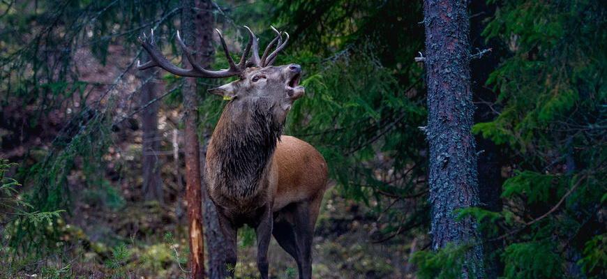 олень в норвегии