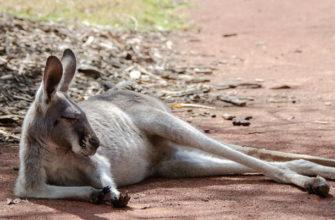 кенгуру интересные факты для детей