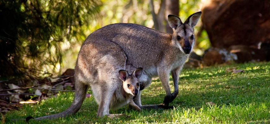 кенгуру с детенышем